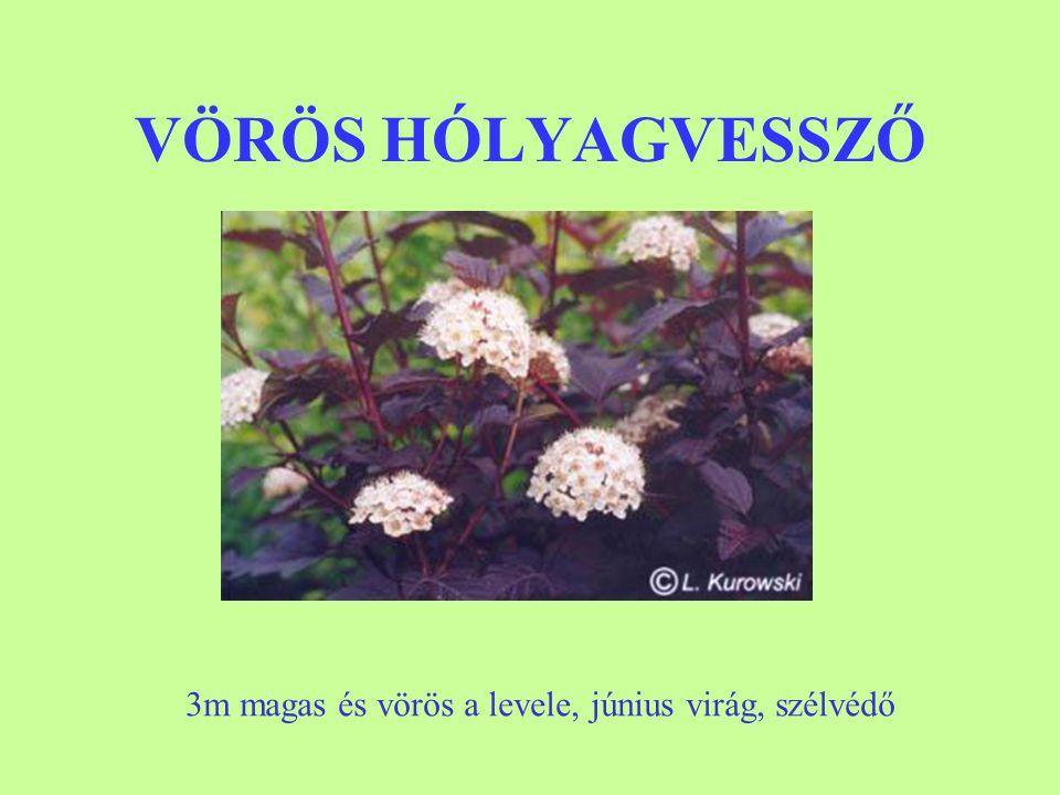 VÖRÖS HÓLYAGVESSZŐ 3m magas és vörös a levele, június virág, szélvédő