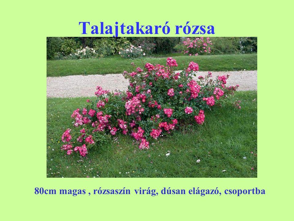 Talajtakaró rózsa 'The Fairy' 80cm magas, rózsaszín virág, dúsan elágazó, csoportba