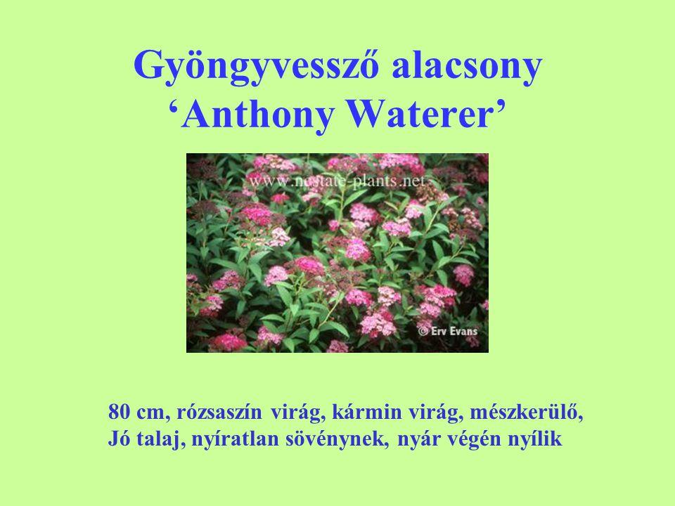 Gyöngyvessző alacsony 'Anthony Waterer' 80 cm, rózsaszín virág, kármin virág, mészkerülő, Jó talaj, nyíratlan sövénynek, nyár végén nyílik