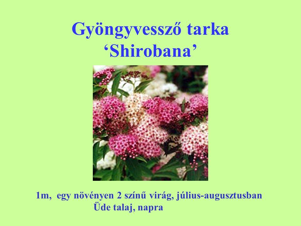 Gyöngyvessző tarka 'Shirobana' 1m, egy növényen 2 színű virág, július-augusztusban Üde talaj, napra