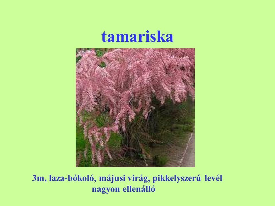 tamariska 3m, laza-bókoló, májusi virág, pikkelyszerú levél nagyon ellenálló