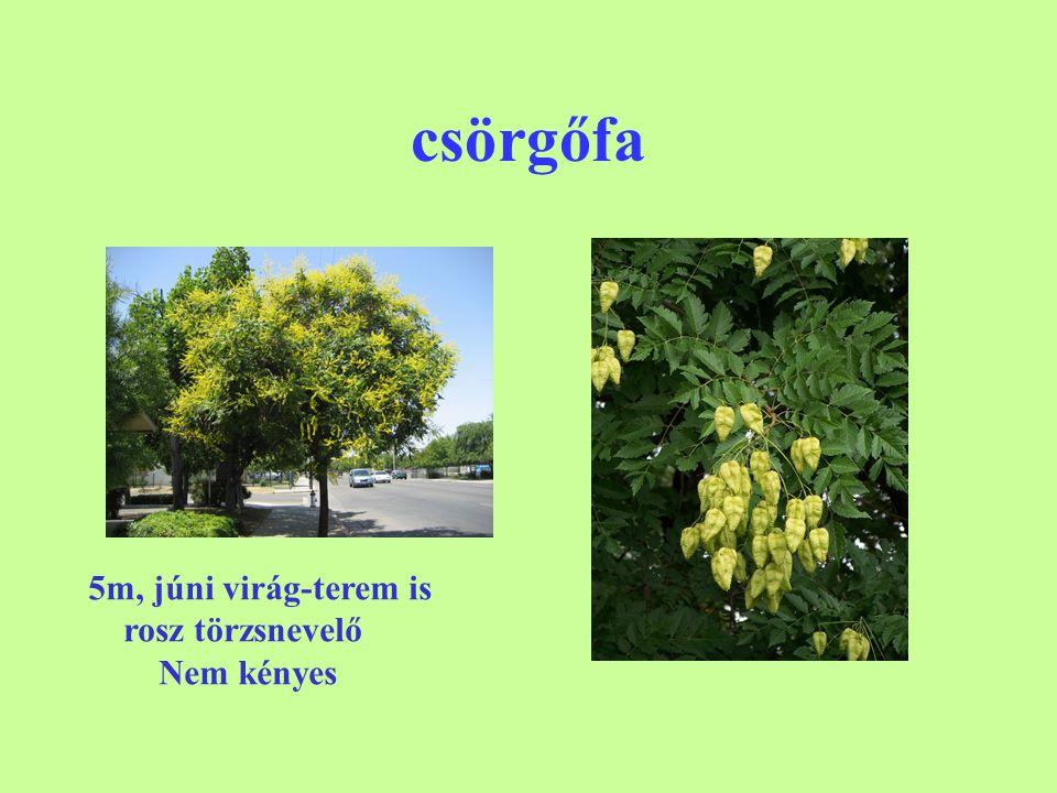 csörgőfa 5m, júni virág-terem is rosz törzsnevelő Nem kényes