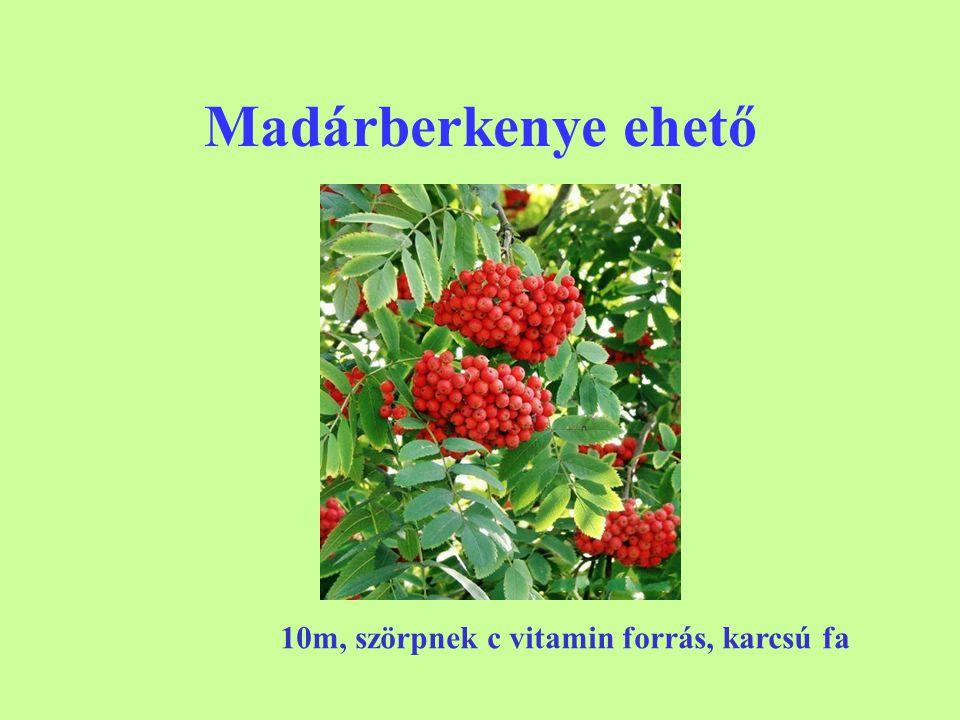 Madárberkenye ehető 10m, szörpnek c vitamin forrás, karcsú fa