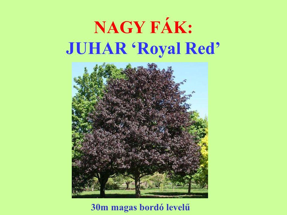 NAGY FÁK: JUHAR 'Royal Red' 30m magas bordó levelű
