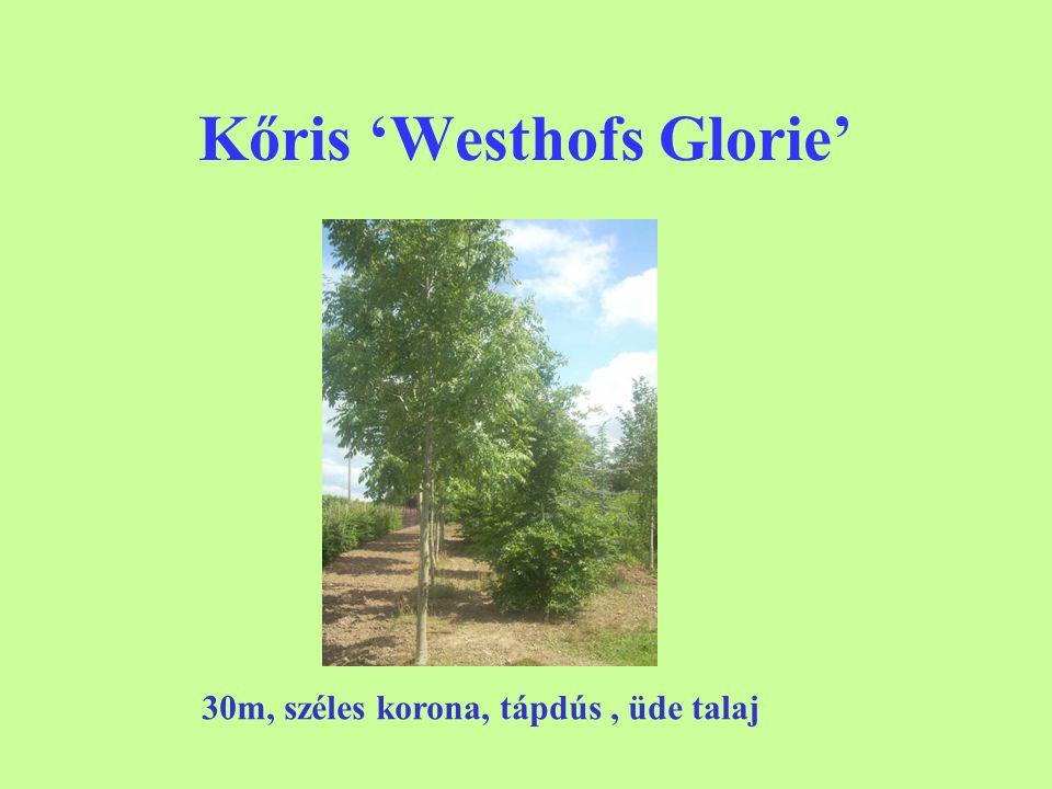 Kőris 'Westhofs Glorie' 30m, széles korona, tápdús, üde talaj
