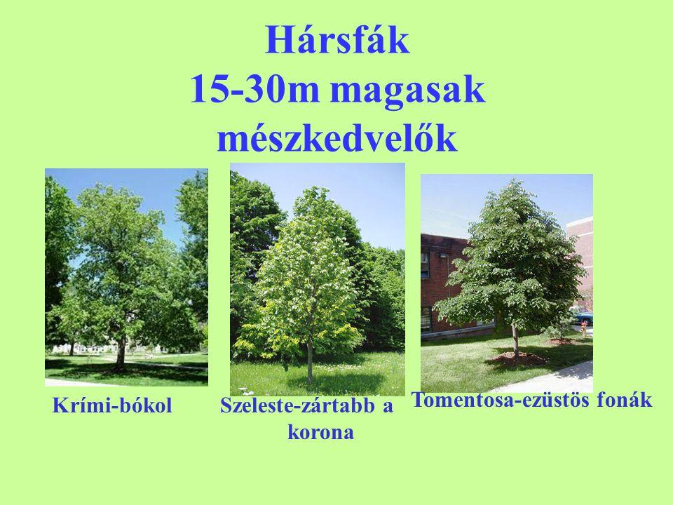 Hársfák 15-30m magasak mészkedvelők Krími-bókolSzeleste-zártabb a korona Tomentosa-ezüstös fonák