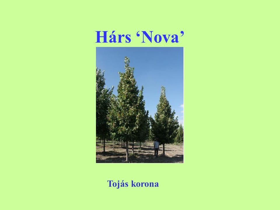 Hárs 'Nova' Tojás korona
