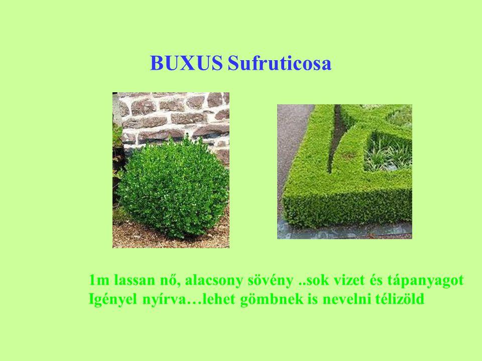 BUXUS Sufruticosa 1m lassan nő, alacsony sövény..sok vizet és tápanyagot Igényel nyírva…lehet gömbnek is nevelni télizöld