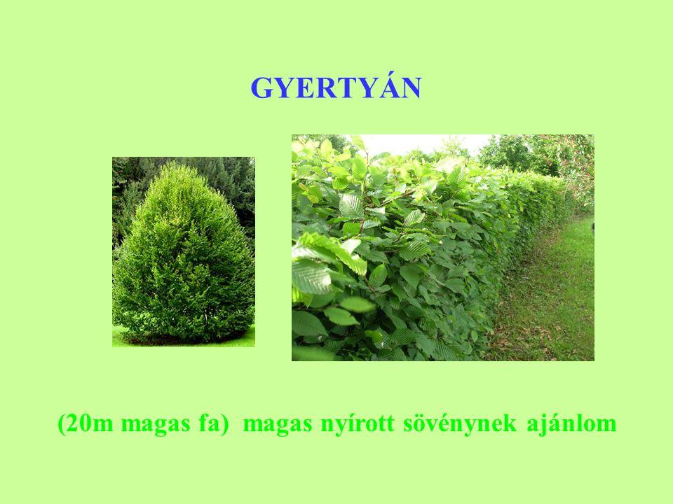 GYERTYÁN (20m magas fa) magas nyírott sövénynek ajánlom