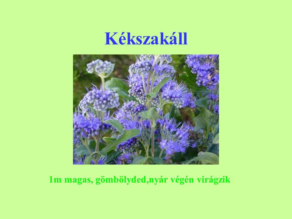 Örökzöld lonc terülő 40 cm lapos örökzöld talajtakaró 1m széles, közepes igények, lila bogyó, nyírható