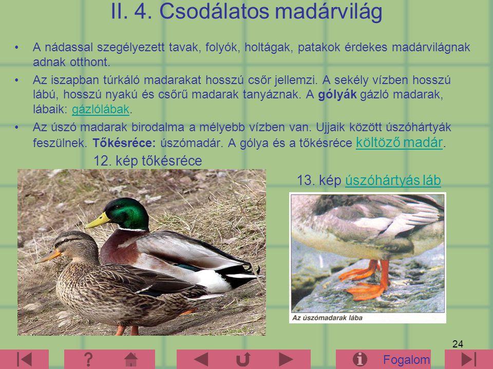 24 II. 4. Csodálatos madárvilág A nádassal szegélyezett tavak, folyók, holtágak, patakok érdekes madárvilágnak adnak otthont. Az iszapban túrkáló mada