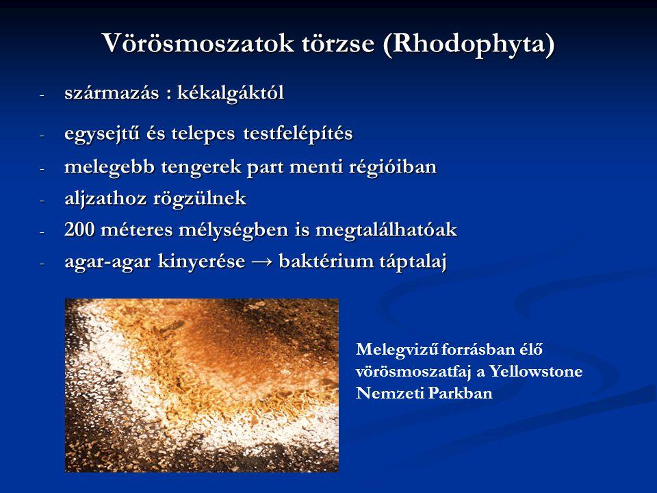 Vörösmoszatok törzse (Rhodophyta) - származás : kékalgáktól - egysejtű és telepes testfelépítés - melegebb tengerek part menti régióiban - aljzathoz r