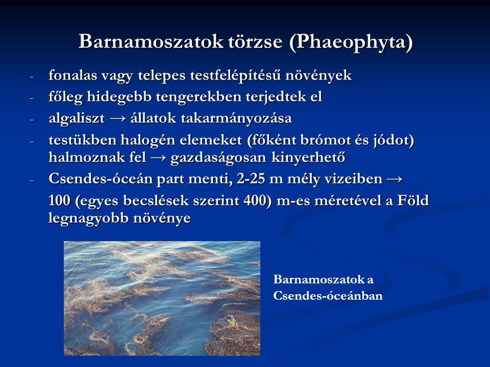 Barnamoszatok törzse (Phaeophyta) - fonalas vagy telepes testfelépítésű növények - főleg hidegebb tengerekben terjedtek el - algaliszt → állatok takar