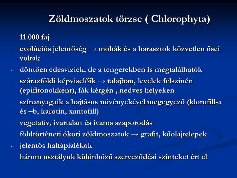 Zöldmoszatok törzse ( Chlorophyta) Zöldmoszatok törzse ( Chlorophyta) - 11.000 faj - evolúciós jelentőség → mohák és a harasztok közvetlen ősei voltak