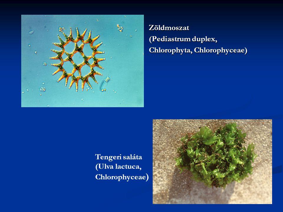 Zöldmoszat (Pediastrum duplex, Chlorophyta, Chlorophyceae) Tengeri saláta (Ulva lactuca, Chlorophyceae )