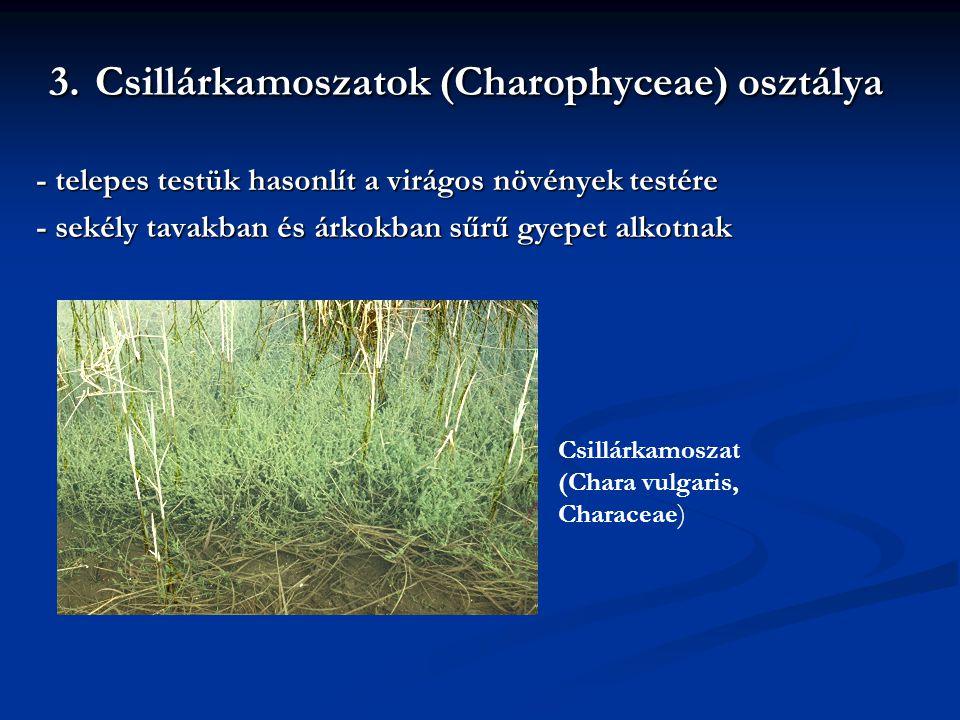 3. Csillárkamoszatok (Charophyceae) osztálya - telepes testük hasonlít a virágos növények testére - sekély tavakban és árkokban sűrű gyepet alkotnak C
