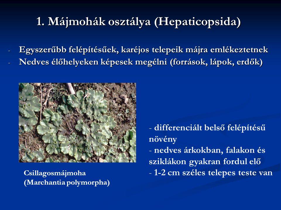 1. Májmohák osztálya (Hepaticopsida) - Egyszerűbb felépítésűek, karéjos telepeik májra emlékeztetnek - Nedves élőhelyeken képesek megélni (források, l