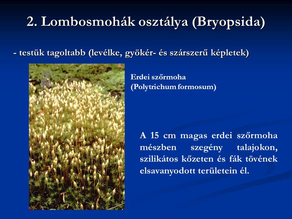 2. Lombosmohák osztálya (Bryopsida) - testük tagoltabb (levélke, gyökér- és szárszerű képletek) Erdei szőrmoha (Polytrichum formosum) A 15 cm magas er