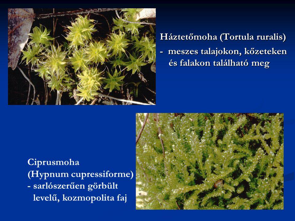 Háztetőmoha (Tortula ruralis) - meszes talajokon, kőzeteken és falakon található meg Ciprusmoha (Hypnum cupressiforme) - sarlószerűen görbült levelű,