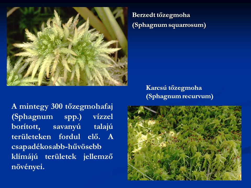 Berzedt tőzegmoha (Sphagnum squarrosum) Karcsú tőzegmoha (Sphagnum recurvum) A mintegy 300 tőzegmohafaj (Sphagnum spp.) vízzel borított, savanyú talaj