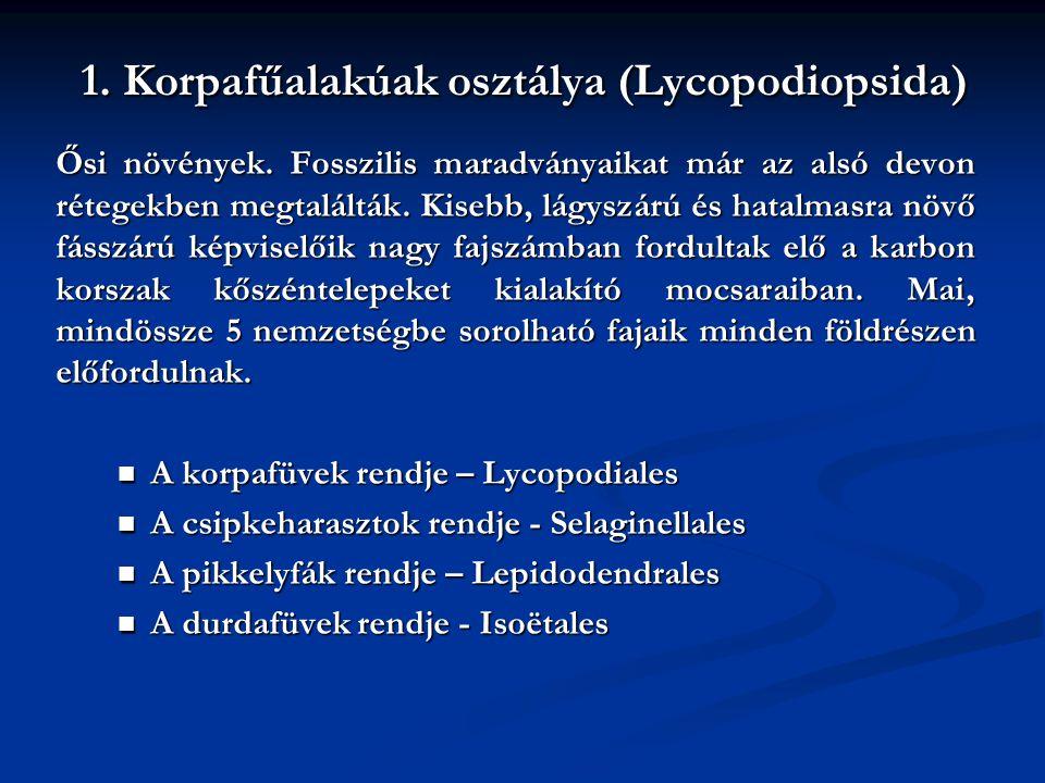 1. Korpafűalakúak osztálya (Lycopodiopsida) Ősi növények. Fosszilis maradványaikat már az alsó devon rétegekben megtalálták. Kisebb, lágyszárú és hata