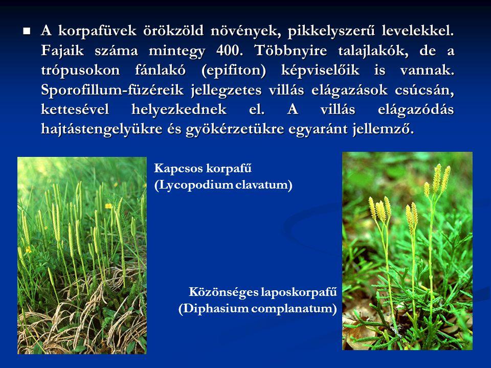 A korpafüvek örökzöld növények, pikkelyszerű levelekkel. Fajaik száma mintegy 400. Többnyire talajlakók, de a trópusokon fánlakó (epifiton) képviselői