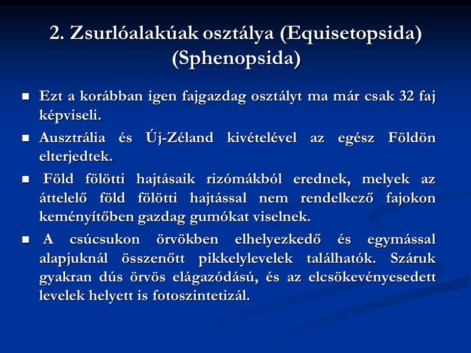 2. Zsurlóalakúak osztálya (Equisetopsida) (Sphenopsida) Ezt a korábban igen fajgazdag osztályt ma már csak 32 faj képviseli. Ezt a korábban igen fajga
