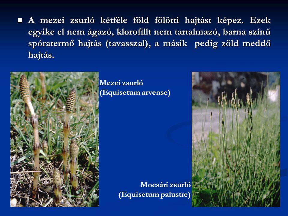 A mezei zsurló kétféle föld fölötti hajtást képez. Ezek egyike el nem ágazó, klorofillt nem tartalmazó, barna színű spóratermő hajtás (tavasszal), a m
