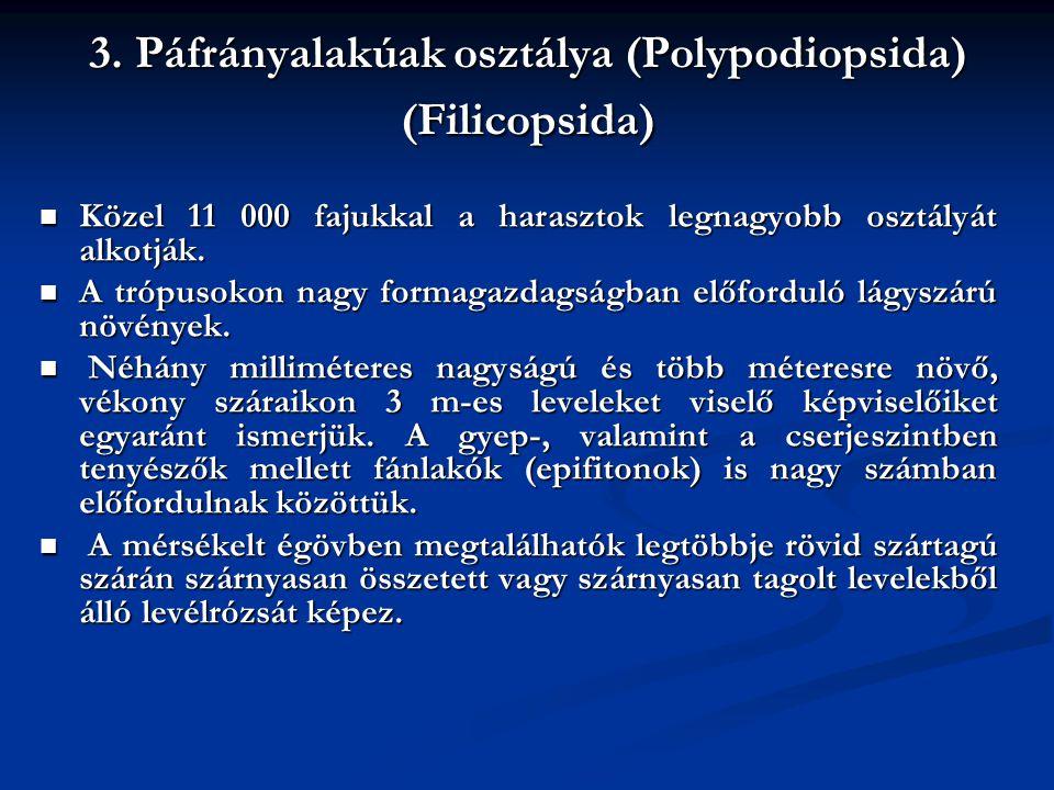 3. Páfrányalakúak osztálya (Polypodiopsida) (Filicopsida) Közel 11 000 fajukkal a harasztok legnagyobb osztályát alkotják. Közel 11 000 fajukkal a har