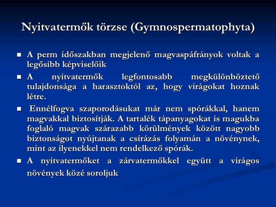 Nyitvatermők törzse (Gymnospermatophyta) A perm időszakban megjelenő magvaspáfrányok voltak a legősibb képviselőik A perm időszakban megjelenő magvasp