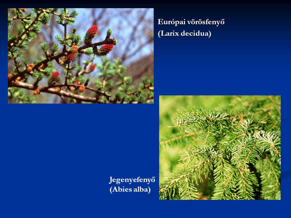 Európai vörösfenyő (Larix decidua) Jegenyefenyő (Abies alba)