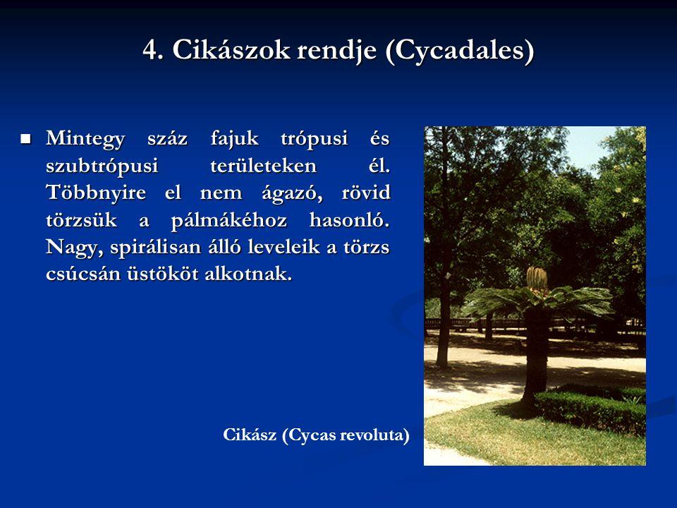 4. Cikászok rendje (Cycadales) Mintegy száz fajuk trópusi és szubtrópusi területeken él. Többnyire el nem ágazó, rövid törzsük a pálmákéhoz hasonló. N