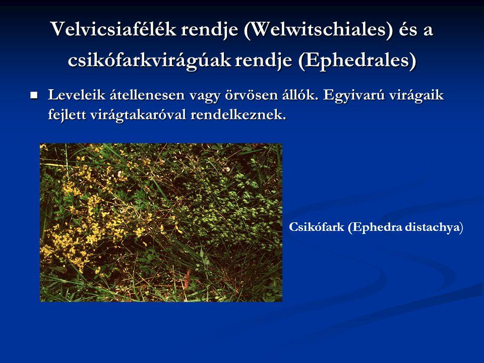 Velvicsiafélék rendje (Welwitschiales) és a csikófarkvirágúak rendje (Ephedrales) Leveleik átellenesen vagy örvösen állók. Egyivarú virágaik fejlett v