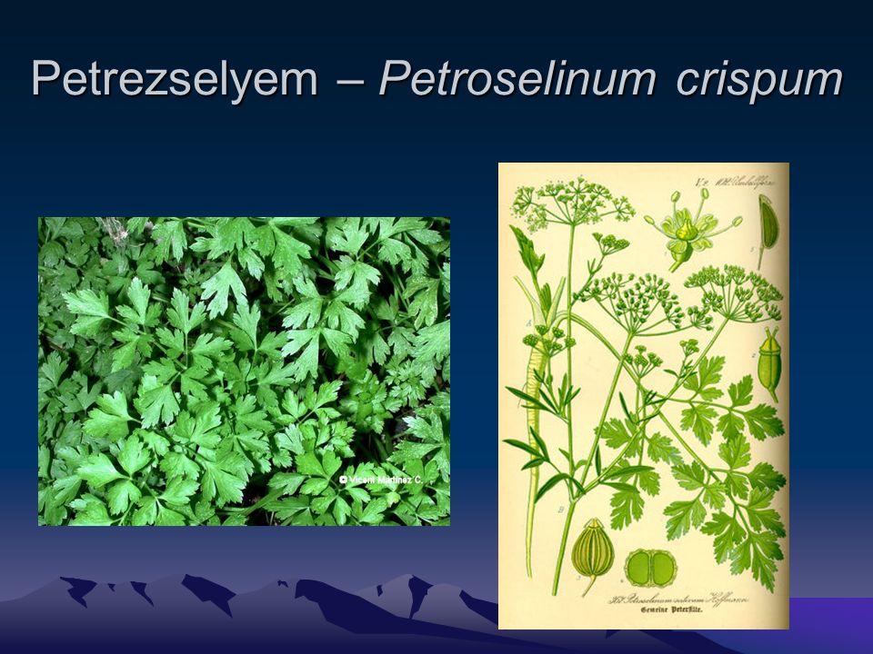 Petrezselyem – Petroselinum crispum