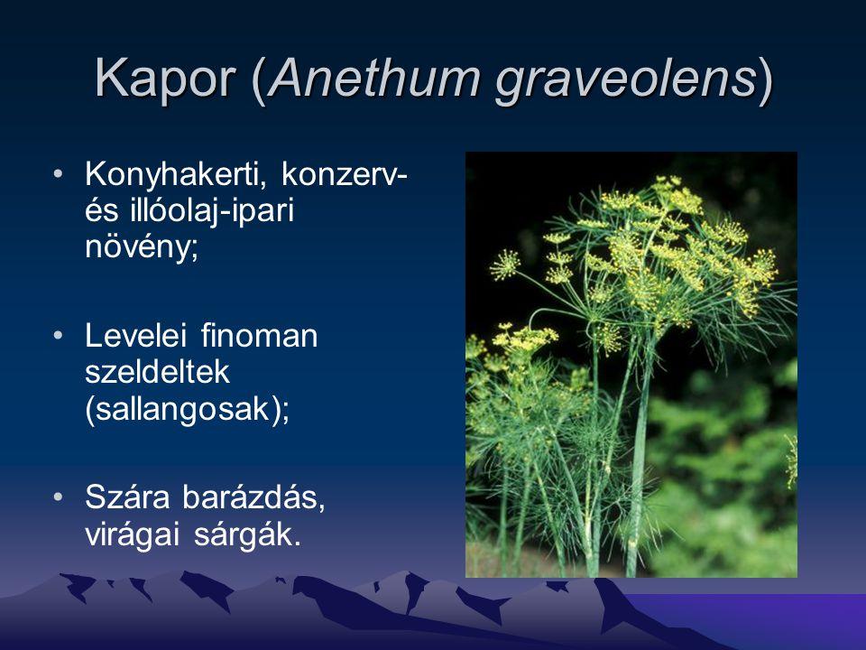 Kapor (Anethum graveolens) Konyhakerti, konzerv- és illóolaj-ipari növény; Levelei finoman szeldeltek (sallangosak); Szára barázdás, virágai sárgák.