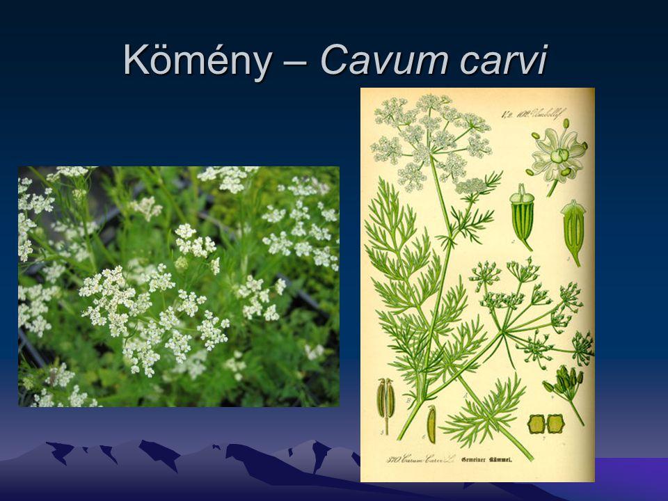 Kömény – Cavum carvi