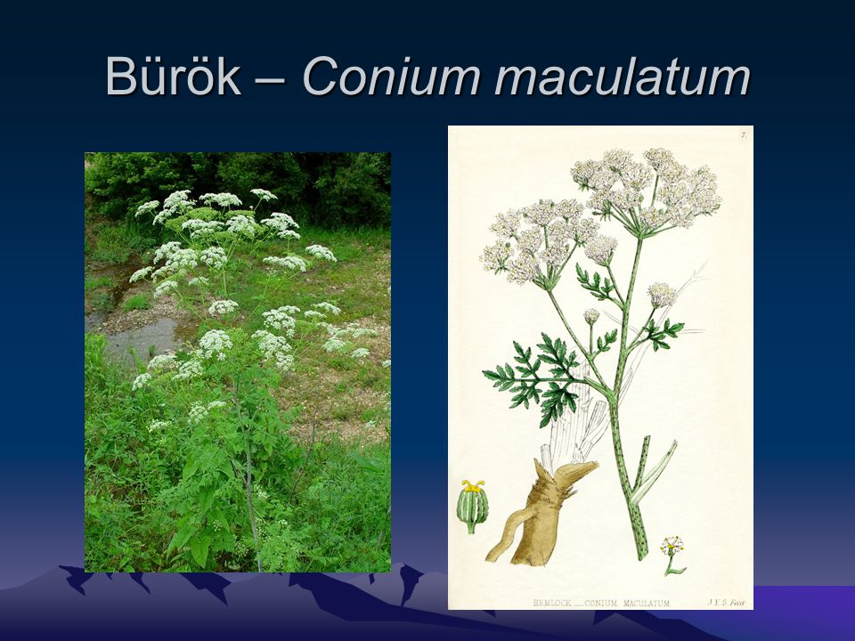Bürök – Conium maculatum