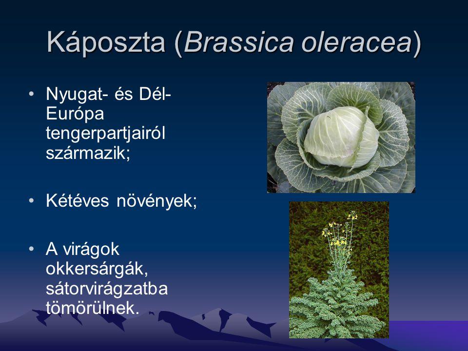 Káposzta (Brassica oleracea) Nyugat- és Dél- Európa tengerpartjairól származik; Kétéves növények; A virágok okkersárgák, sátorvirágzatba tömörülnek.