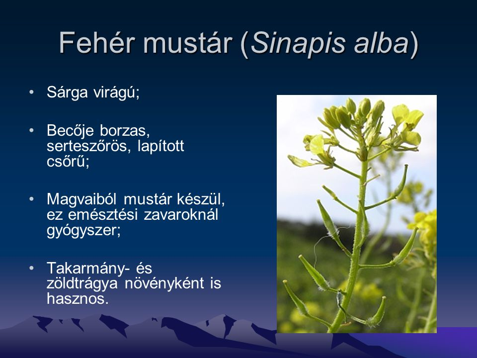 Fehér mustár (Sinapis alba) Sárga virágú; Becője borzas, serteszőrös, lapított csőrű; Magvaiból mustár készül, ez emésztési zavaroknál gyógyszer; Takarmány- és zöldtrágya növényként is hasznos.