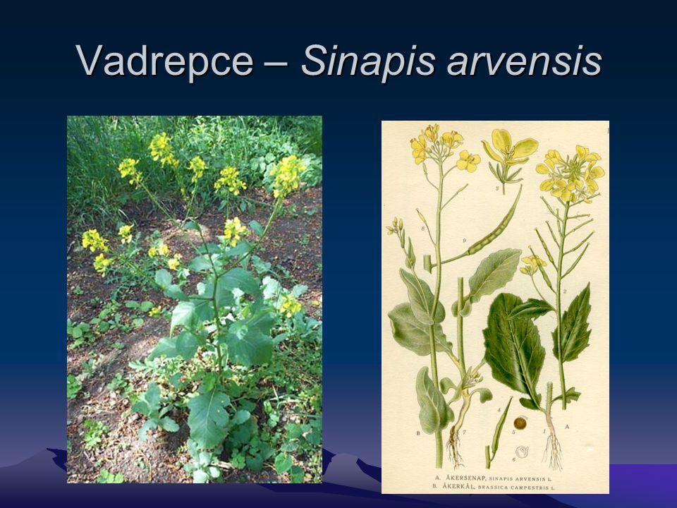 Vadrepce – Sinapis arvensis