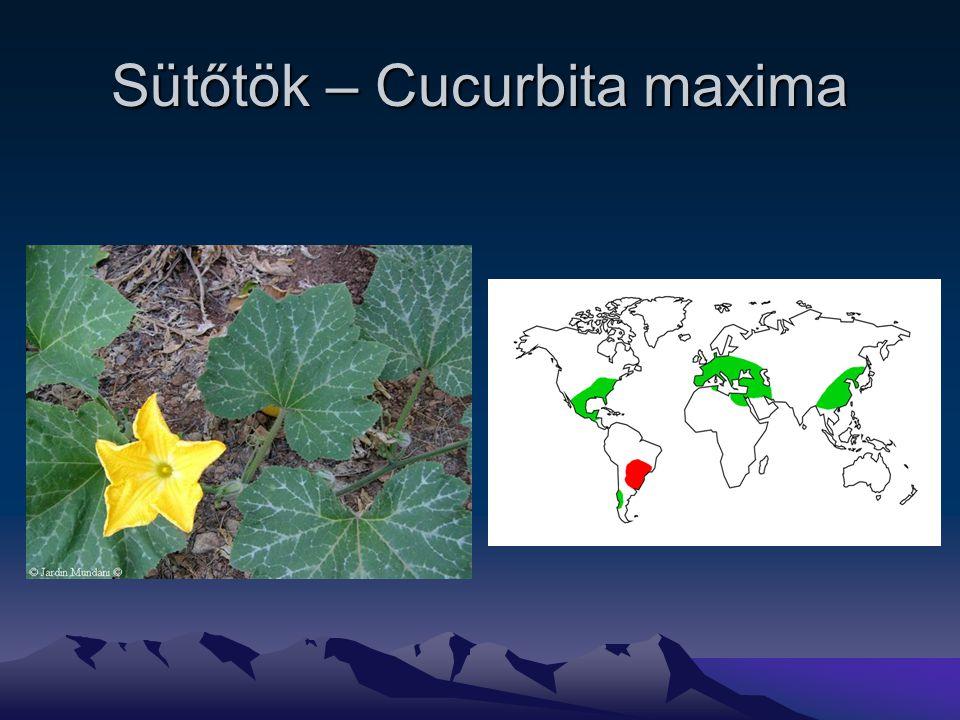 Sütőtök – Cucurbita maxima