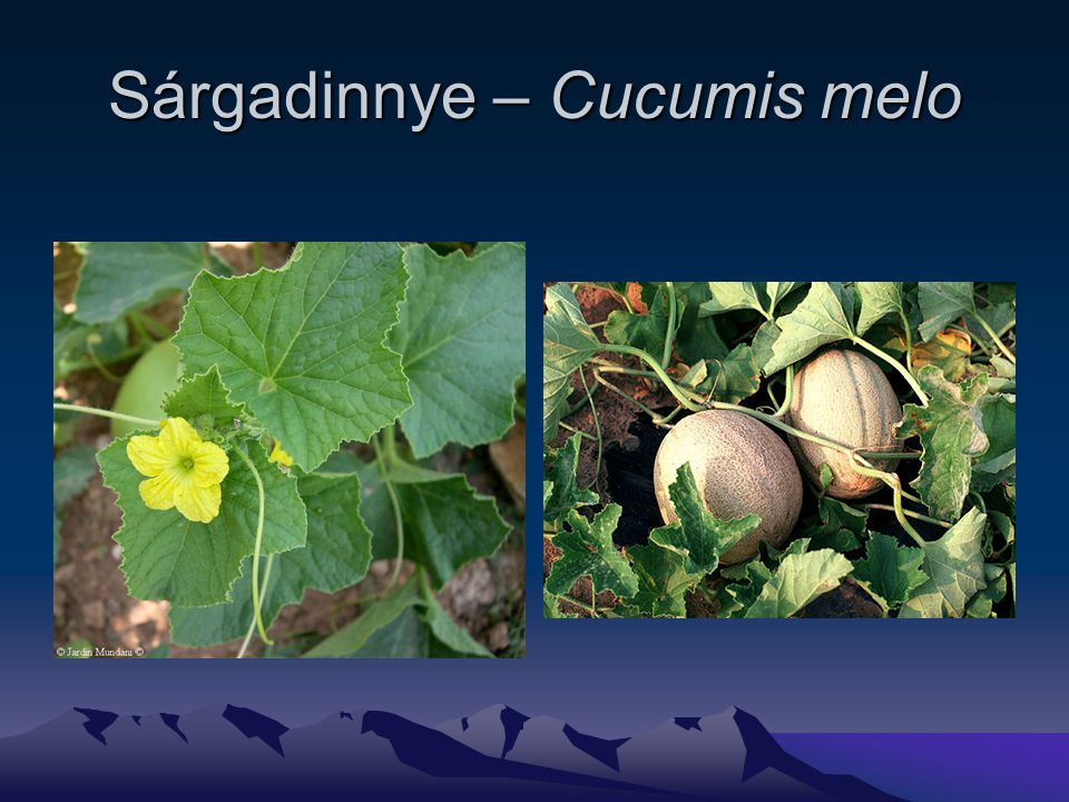 Sárgadinnye – Cucumis melo
