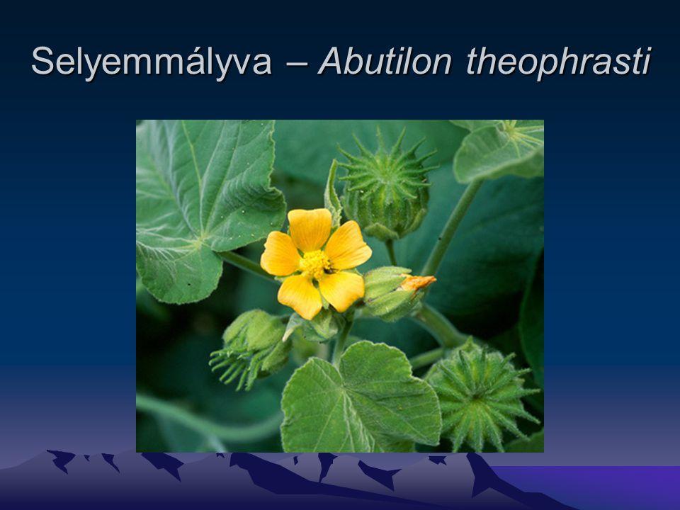 Selyemmályva – Abutilon theophrasti