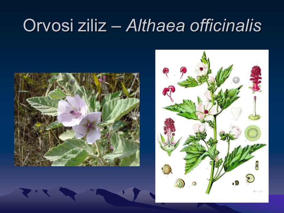 Orvosi ziliz – Althaea officinalis
