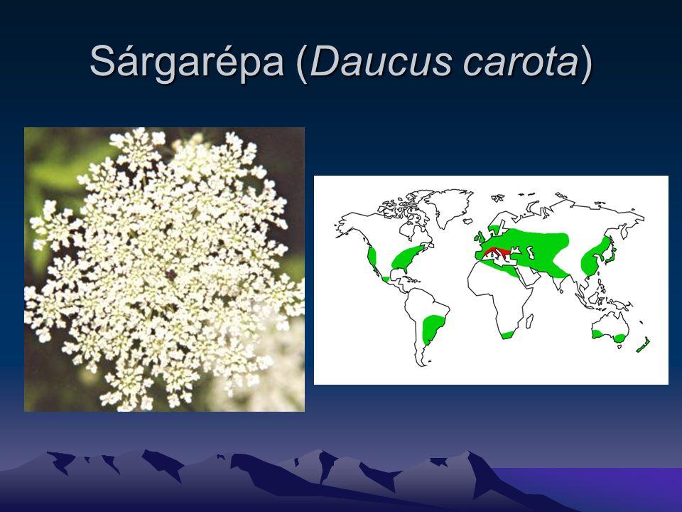 Sárgarépa (Daucus carota)