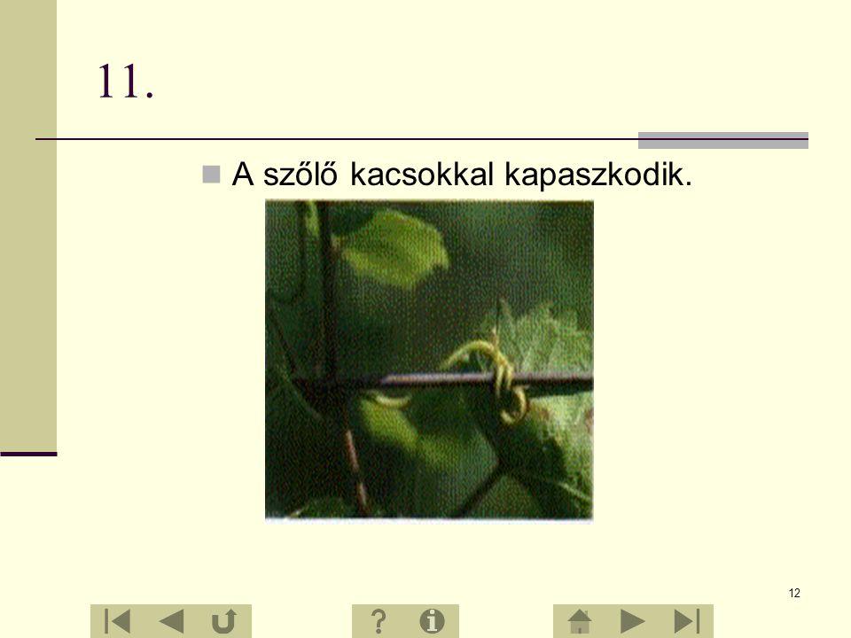 11 10. A szőlő gyökérzete mélyen hatol a talajba, ezért a tartós szárazságot is jól tűri. A talajból kiemelkedő vaskos, fás szárrész a szőlőtőke. A sz