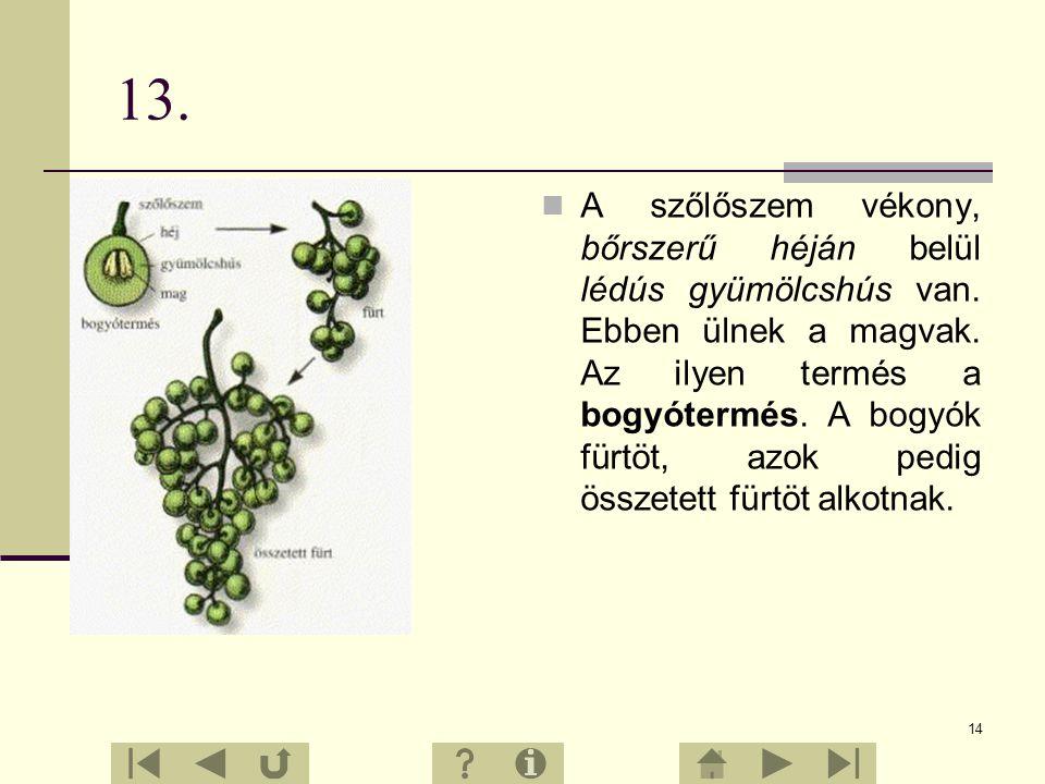 13 12. Minden szőlőfürtön több szőlőszem van. Mindegyik szem egy- egy apró, zöld színű, illatos virág termőjéből fejlődik ki.