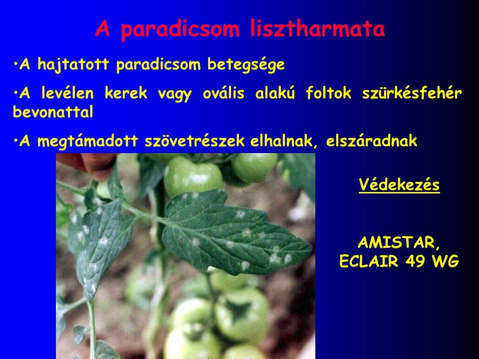 A paradicsom lisztharmata A hajtatott paradicsom betegsége A levélen kerek vagy ovális alakú foltok szürkésfehér bevonattal A megtámadott szövetrészek