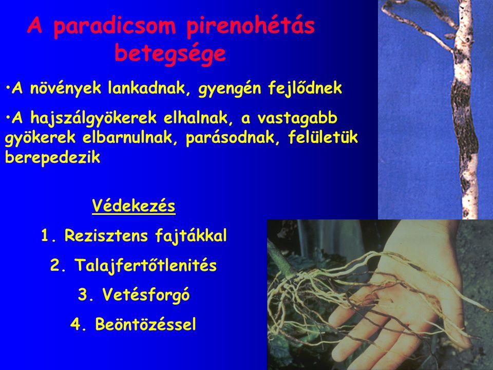 A paradicsom pirenohétás betegsége A növények lankadnak, gyengén fejlődnek A hajszálgyökerek elhalnak, a vastagabb gyökerek elbarnulnak, parásodnak, f