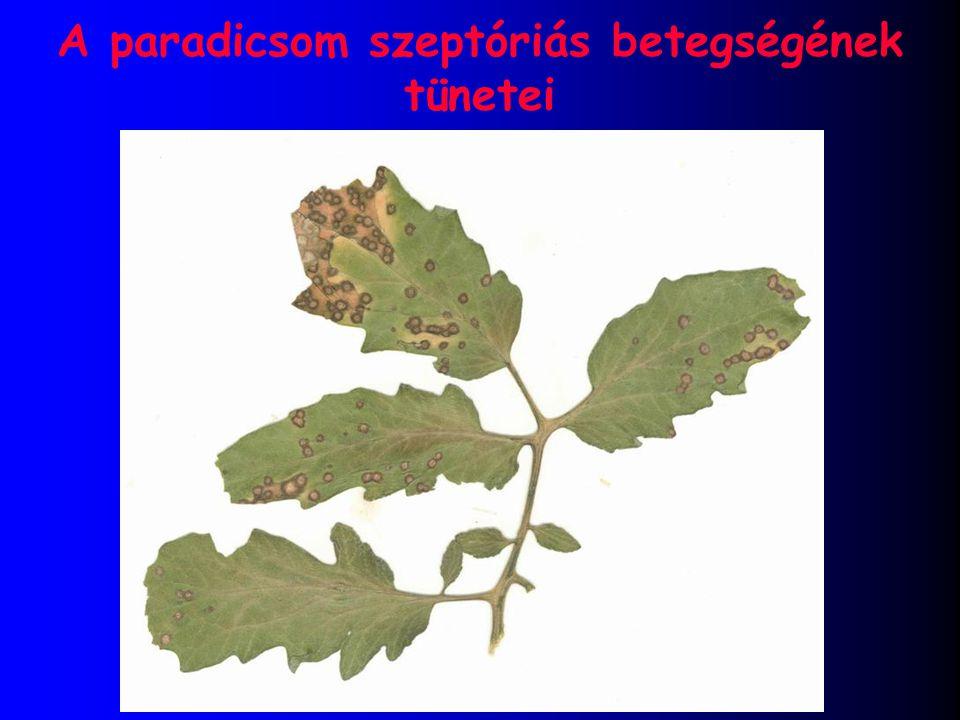 A paradicsom szeptóriás betegségének tünetei